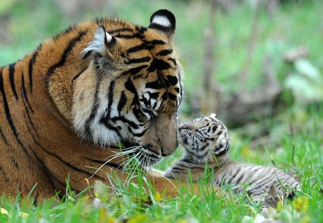 Microsoft Menyumbang 113.5 Juta untuk Program Penyelamatan Harimau Sumatra