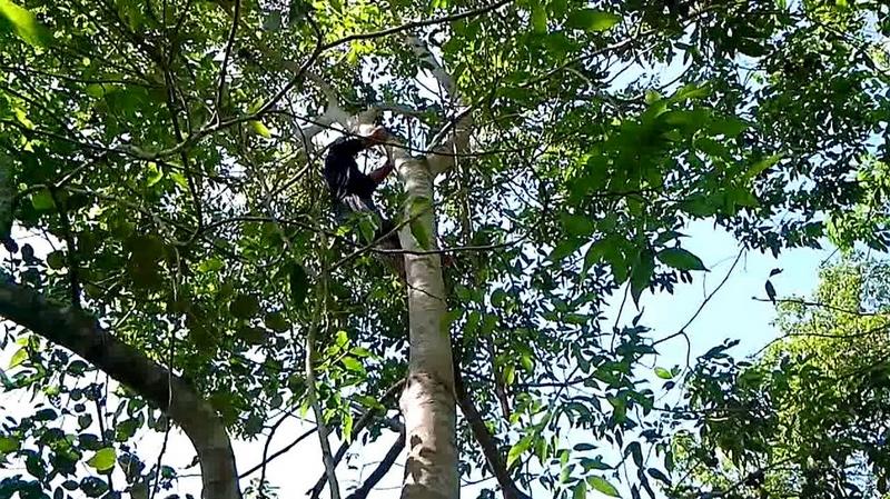 """Memanjat Pohon Jengkol, Sangat """"Laki"""" dan Beresiko"""